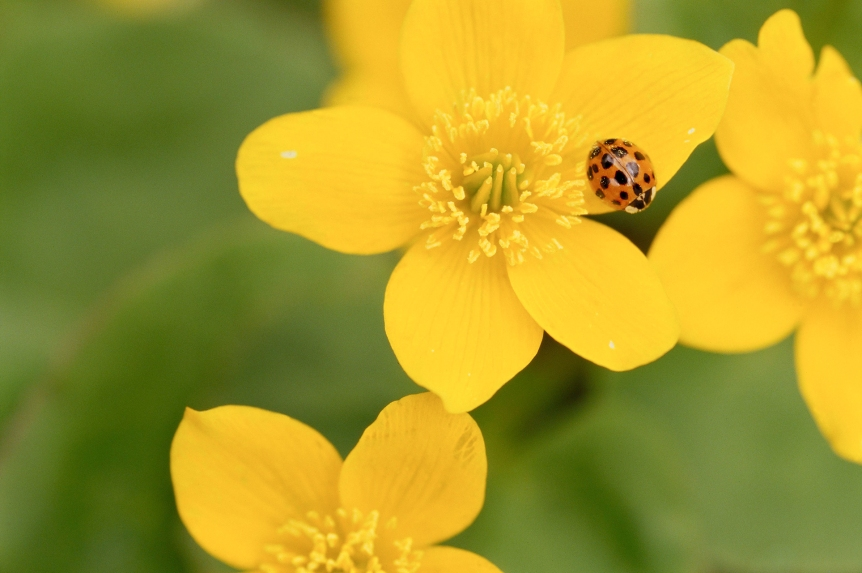 asian-beetle-yellow-flower-fac4da3a